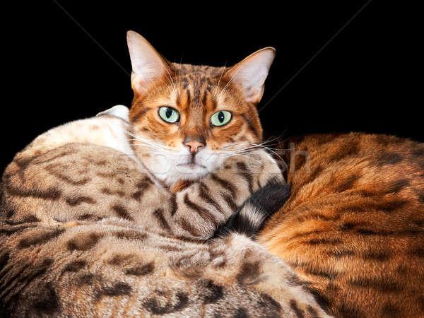 çift bengal kedi yavruları kucaklamak kediler Stok fotoğraf © backyardproductions