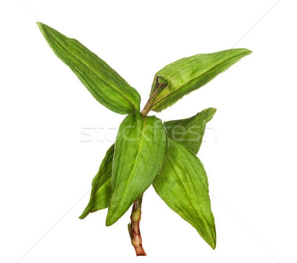 Macro coriandolo erbe impianto foglie isolato Foto d'archivio © backyardproductions