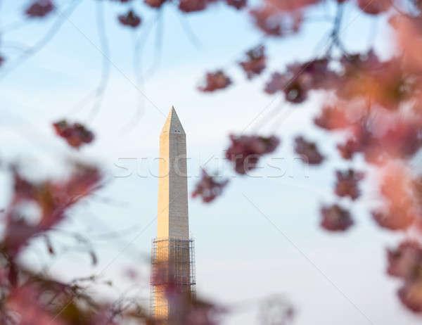 Cseresznyevirágzás Washington-emlékmű rózsaszín japán állványzat torony Stock fotó © backyardproductions