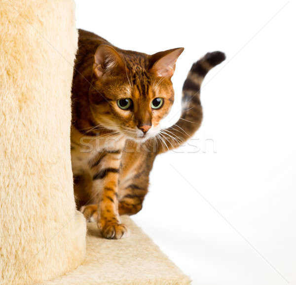 Stock photo: Bengal kitten creeps round corner of climbing frame