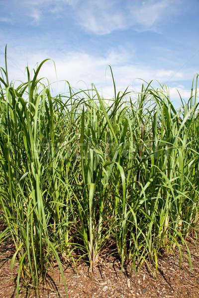 Cukornád növények megnőtt farm bioüzemanyag mezőgazdaság Stock fotó © backyardproductions