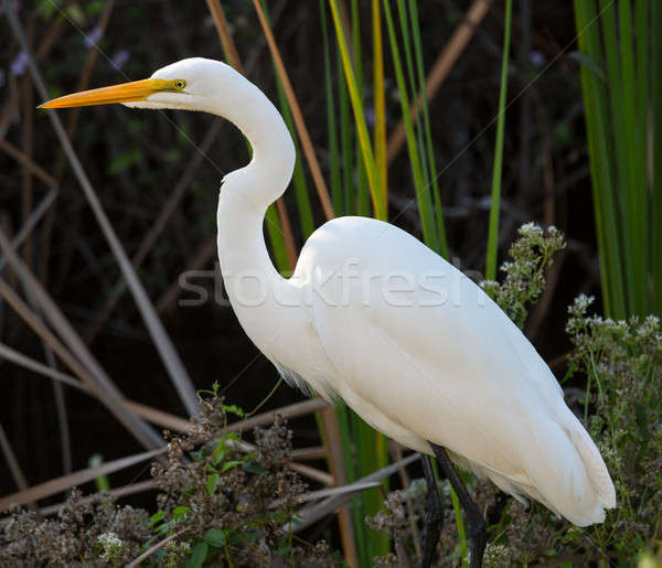 Great white egret in Florida everglades park Stock photo © backyardproductions