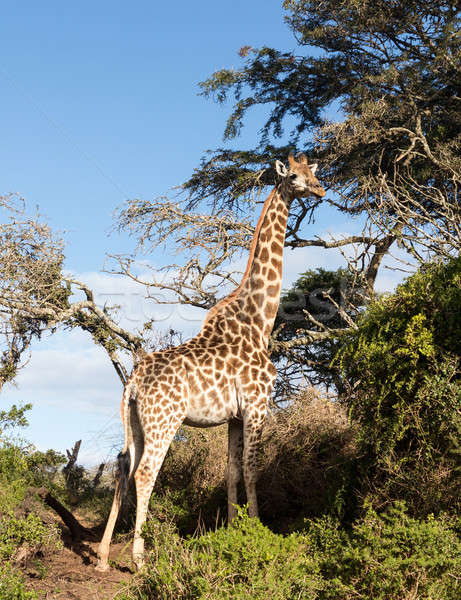 Tall african giraffe looking down at camera Stock photo © backyardproductions