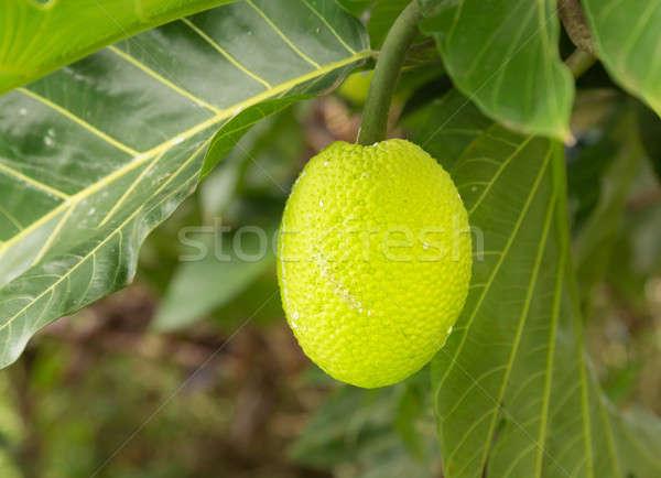Breadfruit tree growing in plantation in Kauai Stock photo © backyardproductions