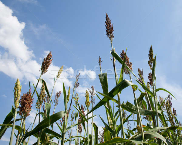 Sorghum plants grown for ethanol and fuel Stock photo © backyardproductions