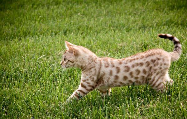 Młodych bengalski kotek zdobycz trawy drzewo Zdjęcia stock © backyardproductions