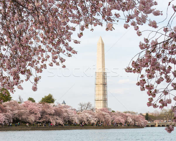 Washington Monument rose japonais échafaudage tour Photo stock © backyardproductions