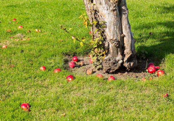 Rouge pommes automne sol autour arbre Photo stock © backyardproductions
