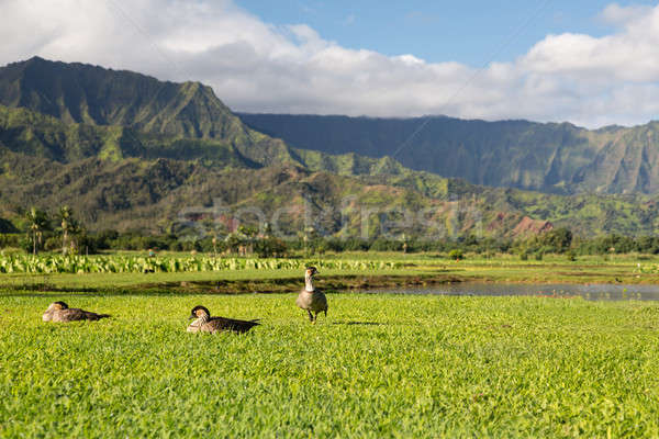 Nene geese in Hanalei Valley on Kauai Stock photo © backyardproductions