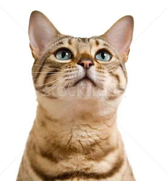 Bengáli macska néz védőbeszéd fiatal kiscica Stock fotó © backyardproductions
