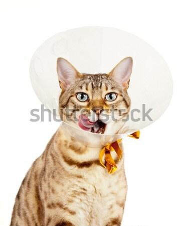 Bengal kitten on arm of young girl facing camera Stock photo © backyardproductions