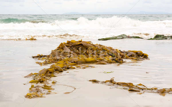 Seaweed by ocean in California Stock photo © backyardproductions