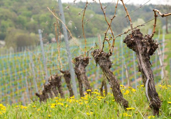 Close up of the pruned vine of grape vineyard Stock photo © backyardproductions