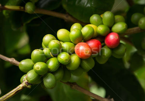 Hawaiian Kona Red coffee beans on tree growing in plantation in  Stock photo © backyardproductions