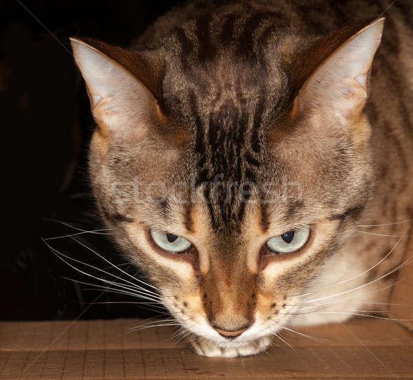 Bengal cat peering through cardboard box Stock photo © backyardproductions