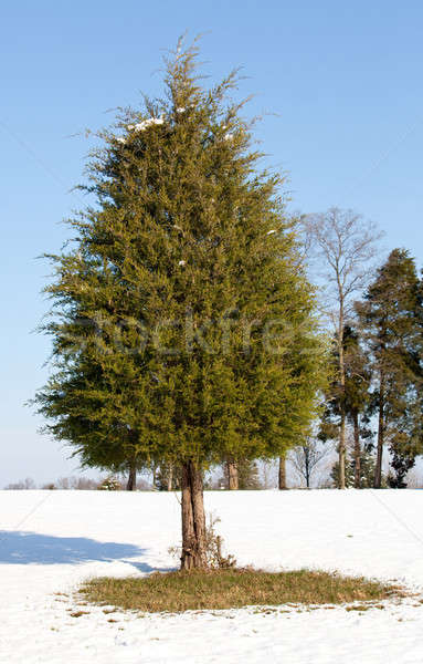 Single conifer in the snow Stock photo © backyardproductions