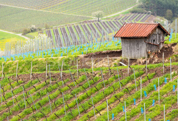 Pattern formed by rows of grape vines in vineyard Castell Stock photo © backyardproductions