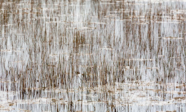Empty bed of reeds in Everglades Florida Stock photo © backyardproductions