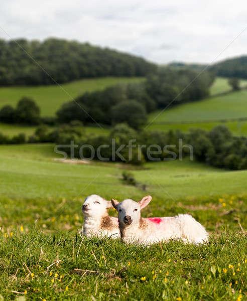 Feketefehér bárány legelő gyapjú Yorkshire dombok Stock fotó © backyardproductions