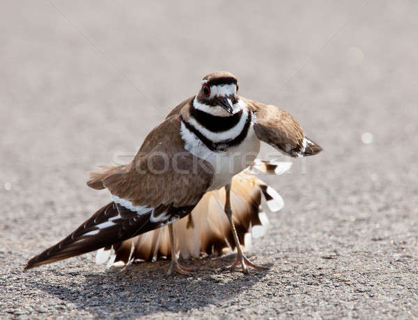Killdeer bird warding off danger Stock photo © backyardproductions