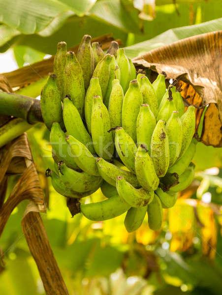 Bunch of green bananas on tree from below Stock photo © backyardproductions