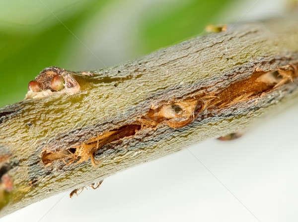 Macro image of tree damage from cicada Stock photo © backyardproductions
