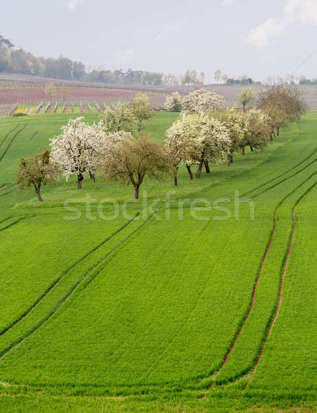 Old apple orchard by vines in Castell Germany Stock photo © backyardproductions