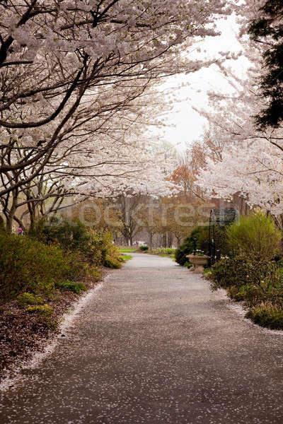 Cherry blossom petals fall on path Stock photo © backyardproductions