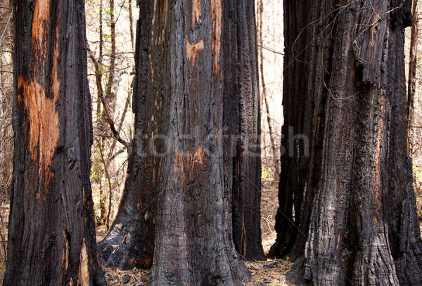 Scorched trees after forest fire Stock photo © backyardproductions