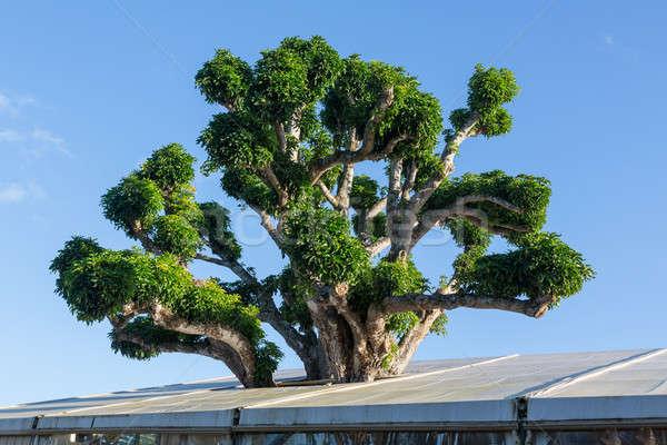 Large acacia koa tree growing in roof Stock photo © backyardproductions