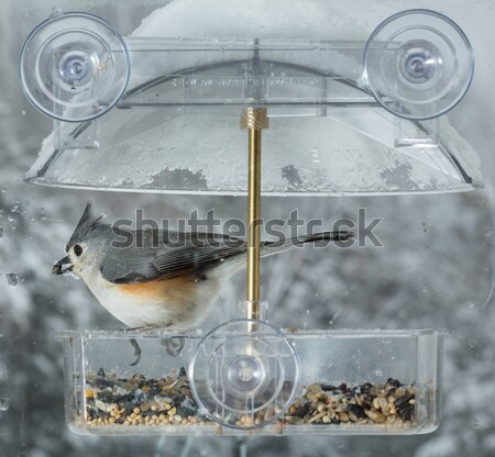 Blue Jay in window bird feeder  Stock photo © backyardproductions