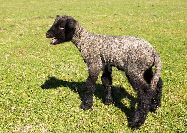 Vista lateral cordero pradera vista jóvenes ovejas Foto stock © backyardproductions