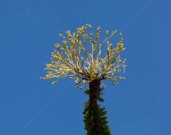 Bright yellow flowers of Ocotillo cactus Stock photo © backyardproductions