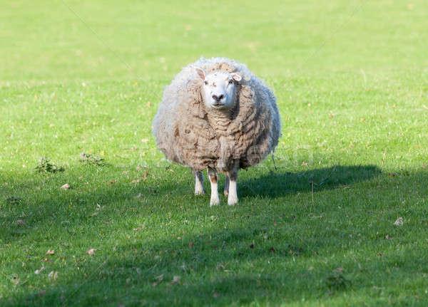 羊 草原 ウェールズ ウール ストックフォト © backyardproductions