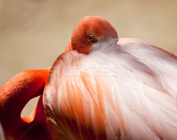Stock photo: Pink Flamingo staring