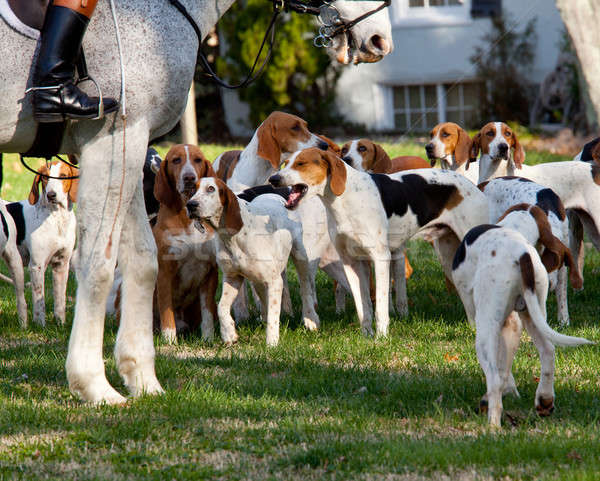 American Foxhounds before a hunt Stock photo © backyardproductions