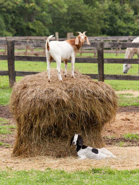 белый коза соломы тюк фермы области Сток-фото © backyardproductions