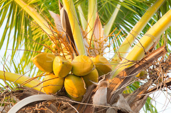Group of yellow coco nuts in palm tree Stock photo © backyardproductions