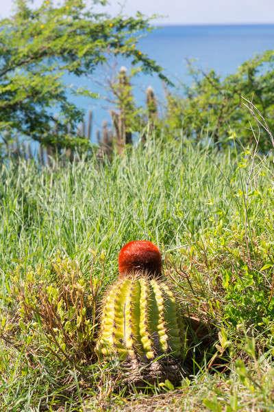 Turk's Cap cactus on St Martin Stock photo © backyardproductions