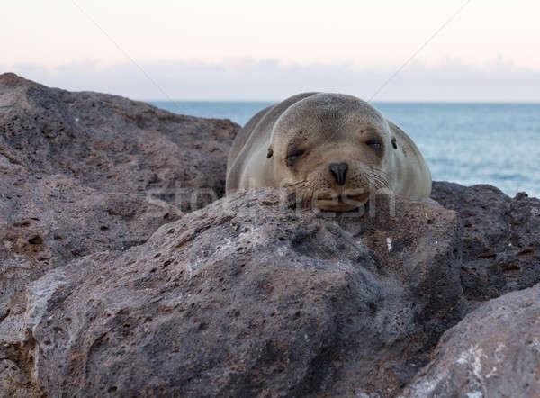 Single small seal on rocks by beach Stock photo © backyardproductions