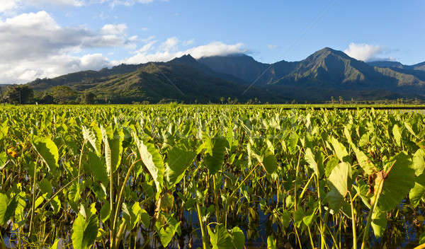 Hanalei Valley in Kauai Stock photo © backyardproductions