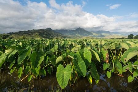 Taro plants in Hanalei Valley on Kauai Stock photo © backyardproductions