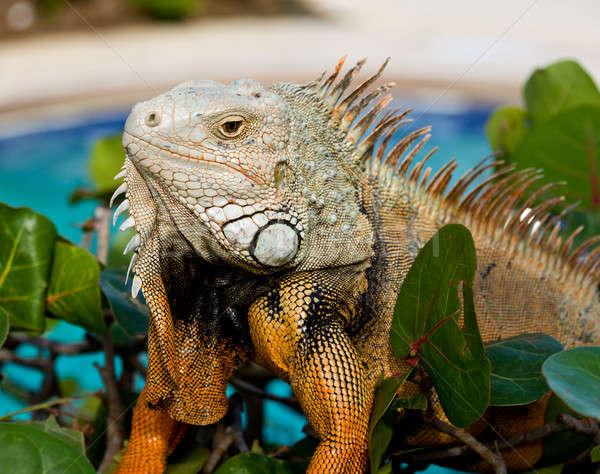 Eye of Iguana Stock photo © backyardproductions