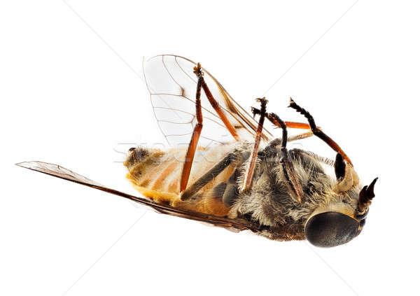 Stock fotó: Halott · méh · légy · hát · makró · rendkívül