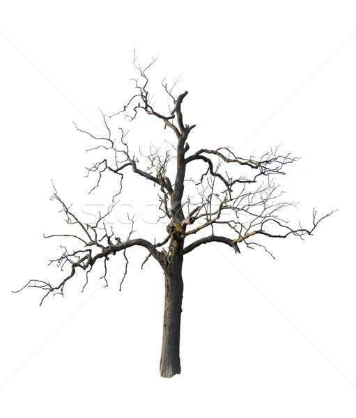 Old dead tree with branches isolated Stock photo © backyardproductions