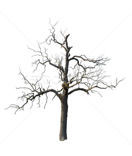 Alten toter Baum Niederlassungen isoliert alten Baum Stock foto © backyardproductions