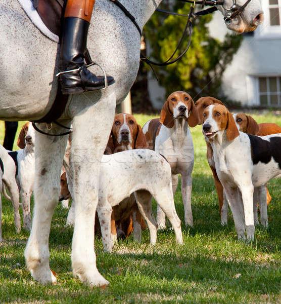 American Foxhounds before a hunt Stock photo © backyardproductions