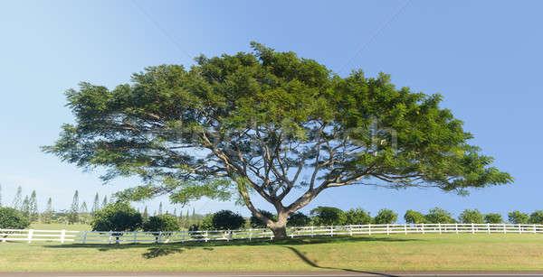 Large acacia or koa tree Kauai Stock photo © backyardproductions