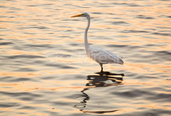 Great white egret in the sea off Tampa in Gulf Stock photo © backyardproductions