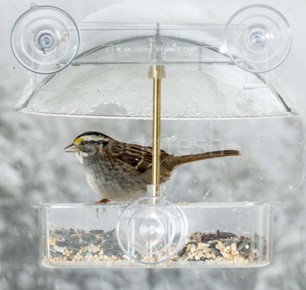 American Sparrow in window bird feeder  Stock photo © backyardproductions